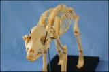 Het Model van het Skelet van de Hond van het dierlijke Product voor Verkoop