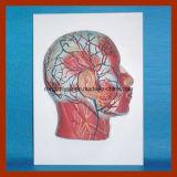 Demi de modèle principal avec des nerfs de vaisseaux sanguins de musculature