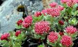 Органическая выдержка корня 5% Salidroside Rhodiola Rosea