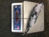 Bonito congelé avec la meilleure qualité (300-500G)