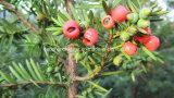 Taxus Cuspidata Extract Paclitaxel 99%, Behandlung des Krebses