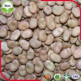 Colheita nova feijões largos secados para enlatado