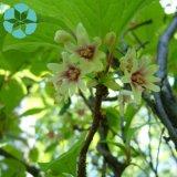 Extrait chinensis de Schisandra/extrait/Schisandrins de Fructus Schisandrae