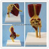 6 Articulación humana con los músculos y ligamentos pintado modelo de enseñanza anatómica