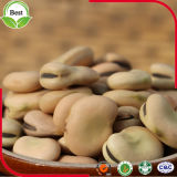 Muito feijões secados preço de Chep Fava