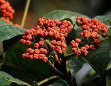 Extracto 98%Rutaecarpine de Fructus Evodiae para los suplementos del alimento