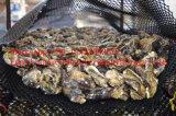 Maille d'huître, cage d'huître, panier d'huître (usine)