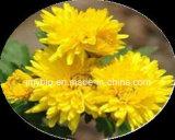 Чисто естественный флавон 10%, выдержка Morifolium хризантемы пиретринов 50% обрабатывая Ветр-Жару, лихорадка и головная боль