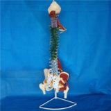 医学の教授人間の脊柱の椎骨の骨組シミュレーターモデル(R020706)