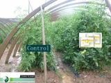 Gibbelische Säure-u. Heteroaxin u. Brassinolide wirkungsvoller Pflanzenwachstum-Regler
