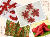 Nêspera Ningxia Goji secado Wolfberry