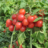 Aminosäure-Puder des organischen Düngemittel-52%