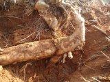 Extrait de Pueraria, isoflavones de l'extrait 40-80% de fond de Kudzu