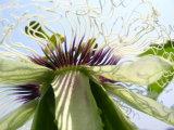 Estratto del Passionflower per gli alimenti ed il supplemento