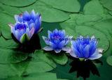 Natürlicher Hersteller-Zubehör-10:1-20:1 blauer Lotos-Auszug