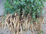 10: 1 Codonopsis Pilosula Wurzel-Auszug-Puder/Codonopsis Auszug