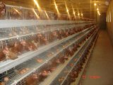 층 (계란) 닭은 시스템 또는 모든 가금 농기구를 감금한다