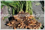 Выдержка турмерина Curcuminoid 10%~95% высокой очищенности; Порошок турмерина