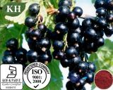 Ratio 4:1; 5:1; 10:1 Black Currant Extract