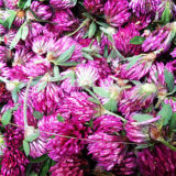 Extrait normal de poudre de trèfle violet avec de l'isoflavone 2%-40%