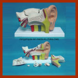 Modèle anatomique gauche moyen médical d'oreille (type 6 PCS d'ERU)