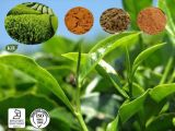 緑茶のエキス98%の茶ポリフェノール、カテキン、EGCG