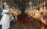 Machine d'abattage de poulet en provenance de Chine