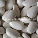 Китайская большая белая фасоль почки 75PCS