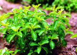 Stevia Leaf Extracts 90%Min. HPLC