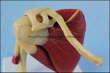 Articulation de l'épaule humaine de qualité avec le modèle anatomique de muscles