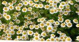 Порошок выдержки стоцвета 10:1 высокия стандарта чисто естественный