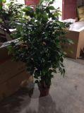 Hengxiang 가짜 벵골 보리수 Bonsai 나무