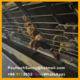 Tipo automatico gabbie di H di batteria del pollame per la pollastra