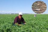 Extrato natural de Glabra do Glycyrrhiza da fonte da fábrica do PBF, ácido Glycyrrhizic de 98%