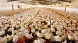 養鶏場の自動肉焼き器の供給装置