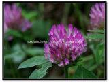 Poudre d'extrait de trèfle violet/trifolium Pratense L.