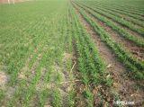 Nicht selectives konkurrenzfähiger Preis bevorzugtes Herbizid-Glufosinate-Ammonium