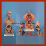 modello del torso di genere del doppio di anatomia dell'essere umano di 55cm (15 PCS)