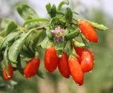 Bulk 2015년 Crop에 있는 농약 Free Goji Berry