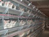 H datilografa a pássaros automáticos da galinha de grelha a gaiola das aves domésticas