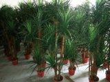 Migliori piante artificiali di vendita del Yucca occidentale Gu-SL330-5