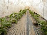 Tissu non tissé renforcé par bord résistant UV pour l'agriculture