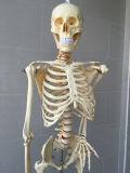 실험실은 공급한다 의학 교육 인간적인 해골 모형 (R020102)를