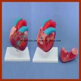 Modelo anatómico del corazón tamaño pequeño humano para la enseñanza médica