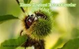 Polvere/Aesculus dell'estratto della castagna d'India chinensis/Aesculus Hippocastanum