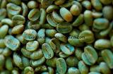 Poudre chlorogénique d'acides d'extrait vert de grain de café