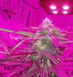 L'alto valore LED coltiva la PANNOCCHIA chiara 600W per Hemps