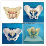 Tamaño de Vida de la pelvis masculina adulto anatómico