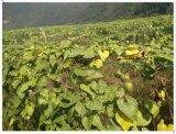 Extrato natural de Mogroside 2.5%~55% Luo Han Guo dos edulcorantes
