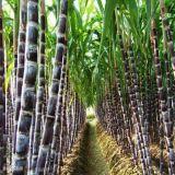 Extrait normal de /Saccharum de canne à sucre/Octacosanol (Policosanol) 60% 90%, numéro 557-61-9 de CAS
